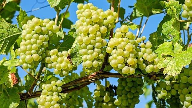 Виноградар